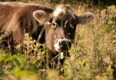 Mucca in mezzo al prato